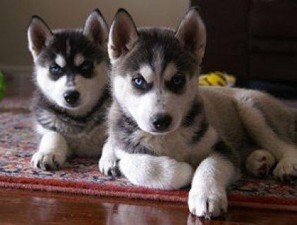 Home raised Husky Puppies