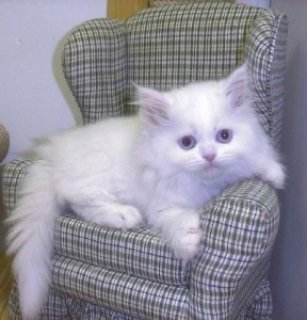 Gorgious Persian Kittens need a new family