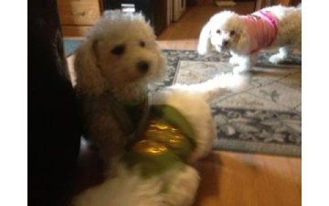 Purebred Bichon Frise Puppies - Very Smart puppies,