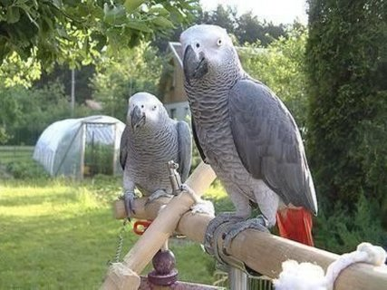 Well Trained Congo African Grey Parrots Now Available for Adopt