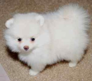 Outstanding white Pomeranian puppies. They are great gifts for