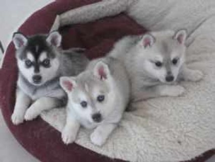 outstanding Siberian husky puppies ready