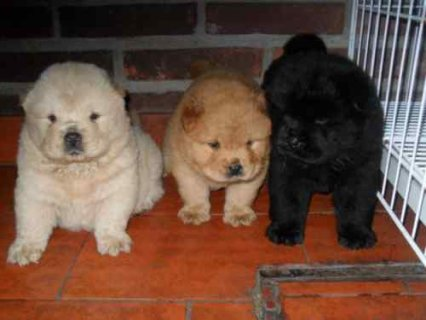 GORGEOUS LITTLE CHOW CHOW PUPPIES- toy A really stunning