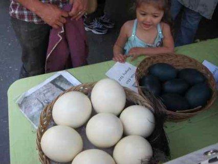 Hatching parrots eggs  for sale