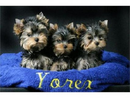 2 Teacup yorkie puppies for good homes.