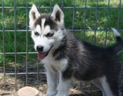 Affectionate Male and Female Siberian Husky Puppies For SALE ( T