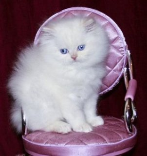 Persians kitten