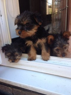 صور Gorgeous Pedigree Yorkshire Terrier Pupies For Sale 1