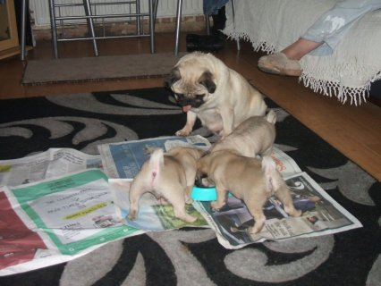 Little Pug Puppies Kc Registered, Excellent Bloodlines