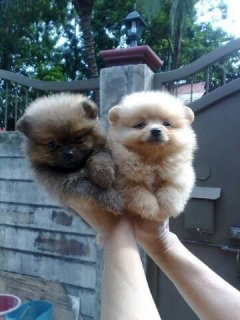 Ready Now Pomeranian Puppies for sale
