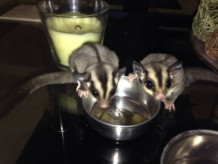 Sugar Glider, Female and Male, Healthy, Needs Rehoming