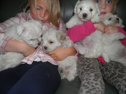 Beautiful tiny Maltese Terrier Puppies