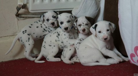 Beautiful Gorgeous Pedigree Dalmatian Puppies
