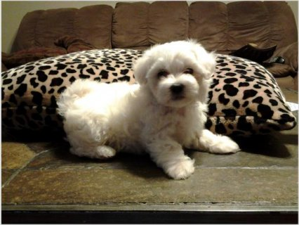 صور Maltese Puppies For Rehoming  1