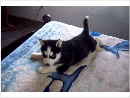صور beautiful Siberian Husky Puppies 1