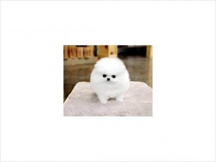 beautiful Pomeranian puppies for sale