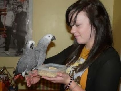 African Grey Parrots For Sale 3