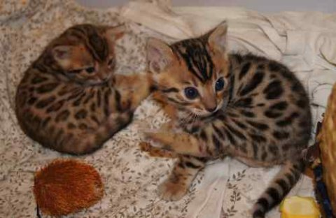 Male and fenale adorable savannah kitten waiting for new home