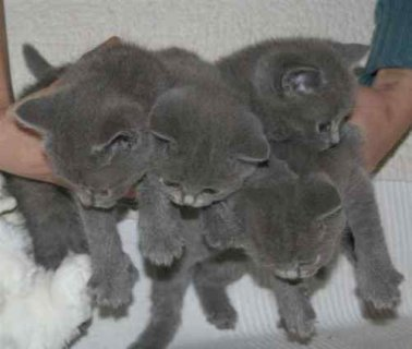 RUSSIAN BLUE KITTENS FOR ADOPTION