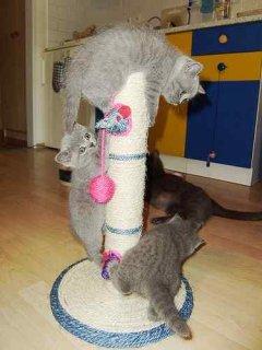 Beautiful PedigreeBritish Shorthair Blue Kittens