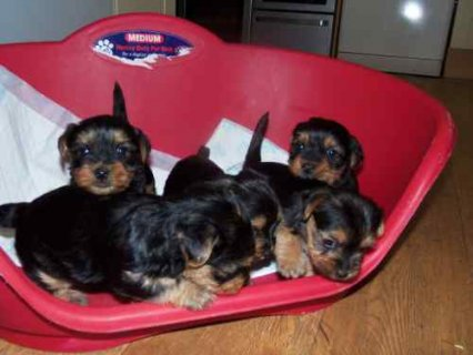 Cuties Pedigree tiny Yorkie Puppies