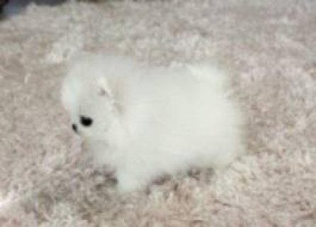 White Teacup Pom Puppies For Rehoming
