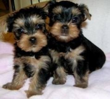 صور Yorkie Puppies Foe Rehoming Now 1