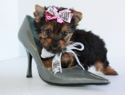 صور 2 Yorkshire Terriers For Sale 1