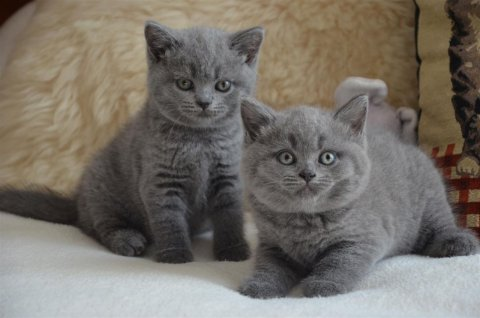Blue eye BS kittens for rehoming