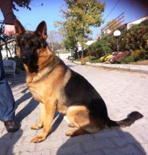 كلب جيرمن شيبرد شورة هير