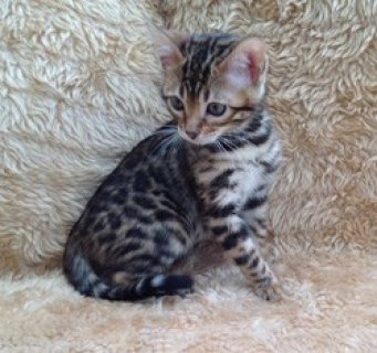 TICA Registered Bengal Kittens For Sale