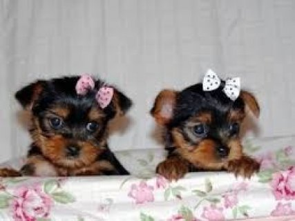 Yorkie Puppies for Rehoming11