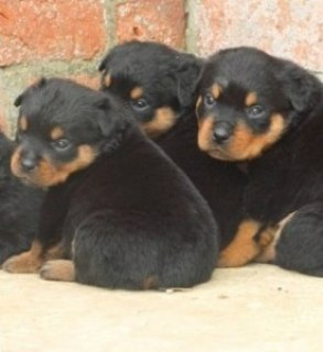 Super Rottweiler Puppies For Sale