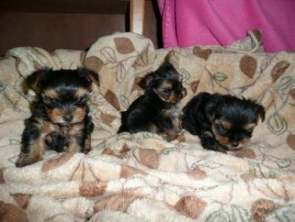 صور Healthy Tiny Teacup Yorkie Puppies For Free Adopti 1