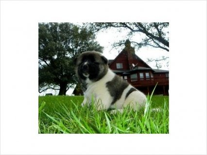 صور Admirable Akita pups ready For Rehoming 1