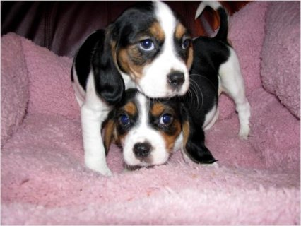 Adorable Designer Beaglier puppies For Rehoming