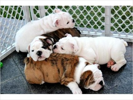 English Bulldog puppies For Rehoming Breed: English Bulldog