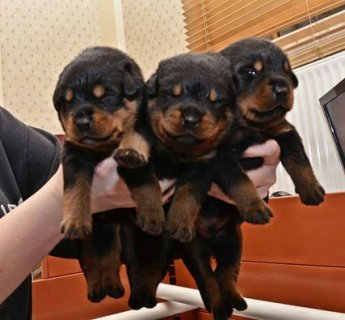 Rottweiler pups for ADOPTION
