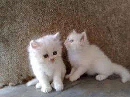 Beautiful Persian cats available.