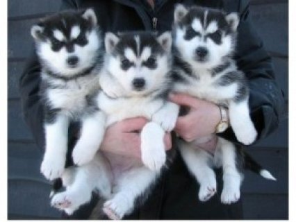 صور Siberian Huskies for Adoptioin 1