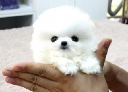 Teddy Bear, Short Nose Teacup Pomeranian Puppies For Rehoming