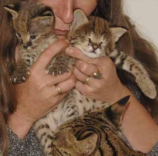 3 Savannah Kittens For Rehoming