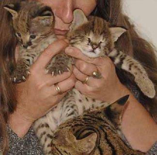 3 Savannah Kittens For Rehoming