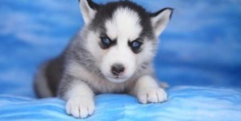 Husky Pups Available for Adoption