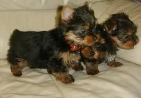 2 Cute and Adorable Yorkie Puppies for Adoption