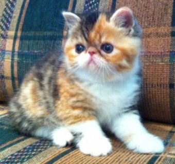 2 Exotic Shorthair Kittens Available
