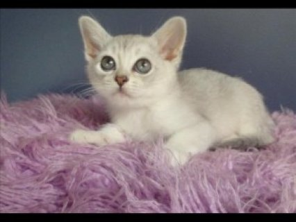 Young Burmilla Males & Females Available