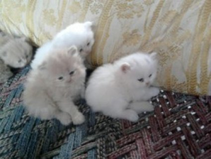 صور 2 Toy Persian kittens ready for Xmas 1