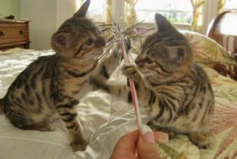 2 Home trained male and female bengal kittens Available  Affecti