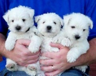 2 West Highland Terrier Puppies.